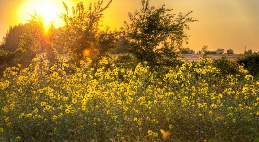 Sunset Sun Flowers Illinois William Woodward