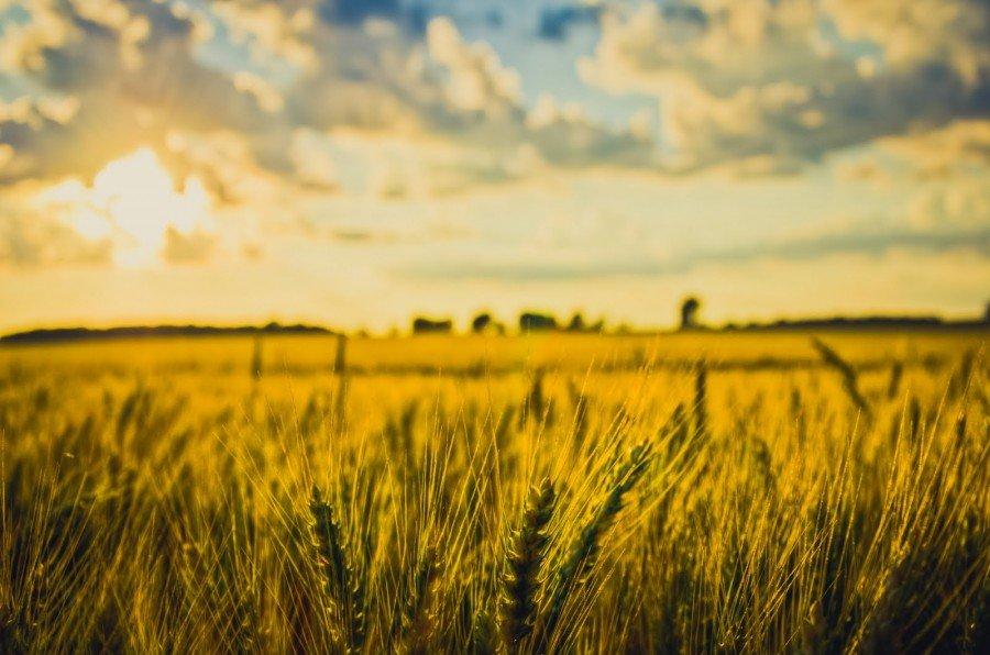 Wheat Fields Illinois William Woodward
