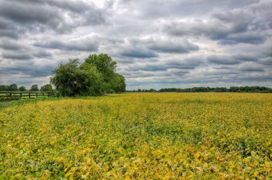 Yellow Fields Illinois William Woodward