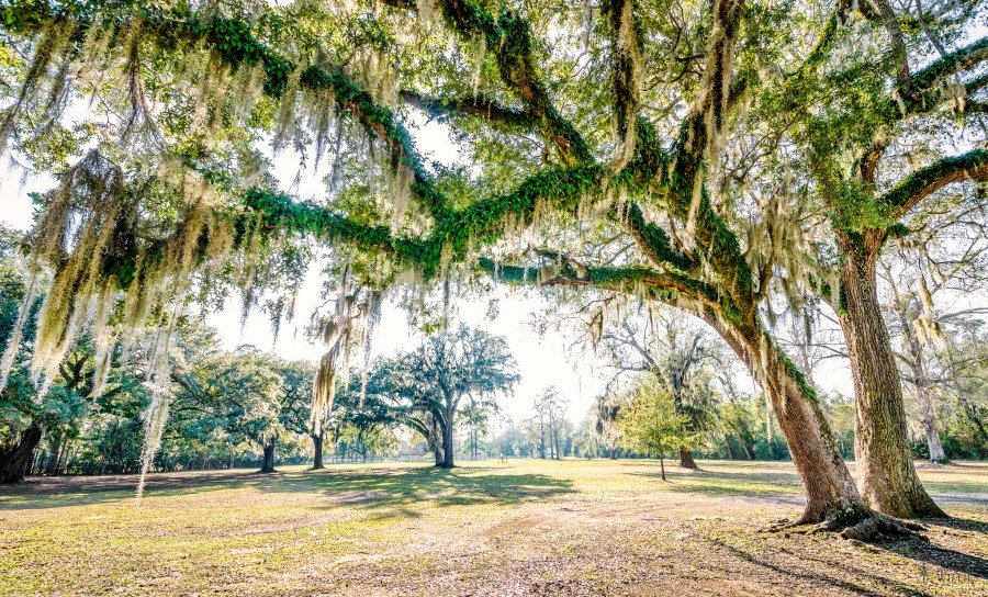 Moss Hangs Louisiana William Woodward