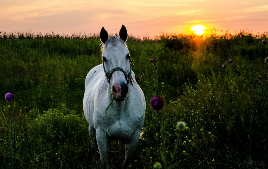 horse at sunset William Woodward
