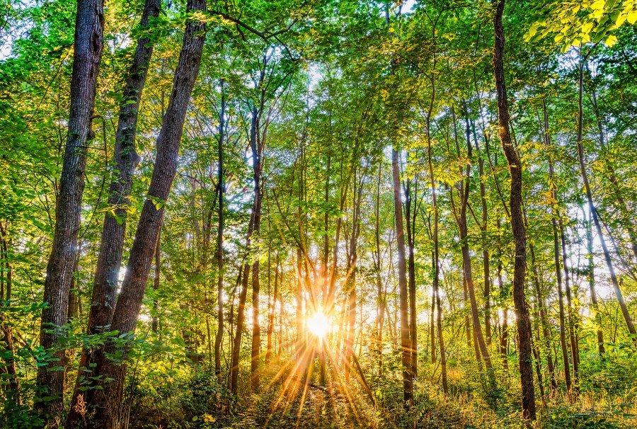 sunburst forest sunset william woodward